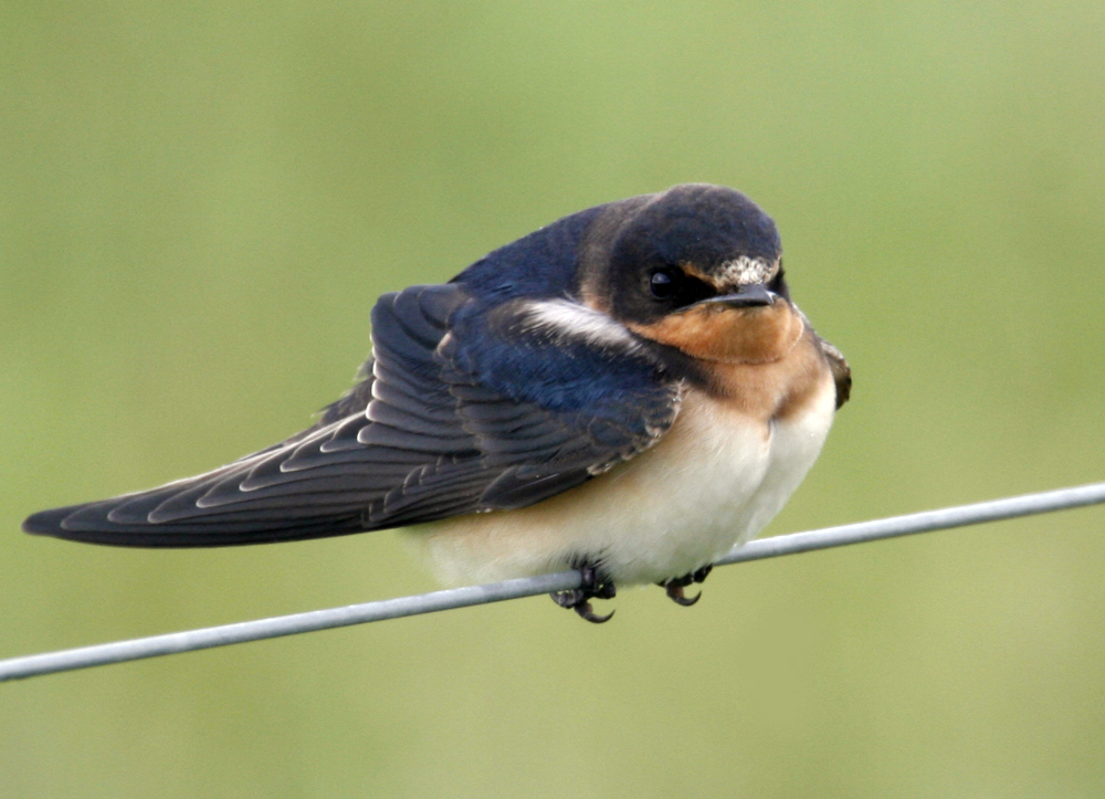 how to stop swallows nesting on house