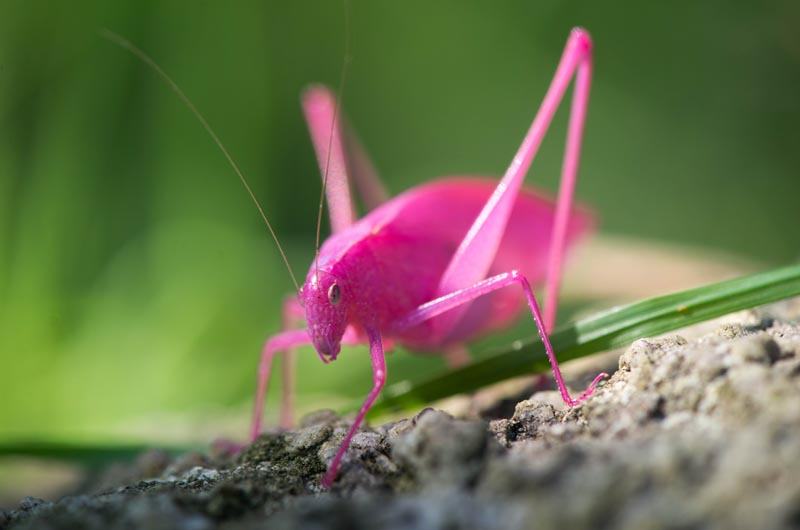 Image result for katydid pink