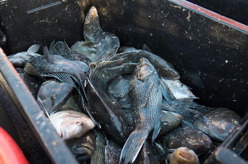 How To Catch Black Sea Bass In Long Island Sound