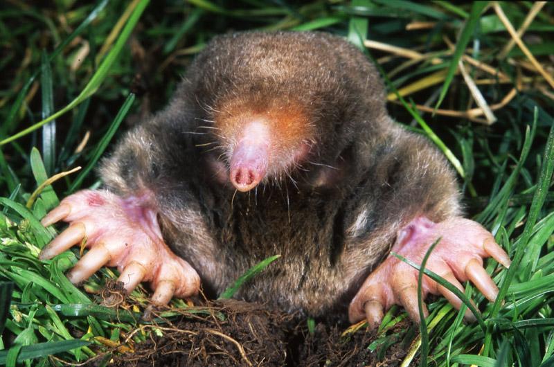 https://vineyardgazette.com/sites/default/files/article-assets/main-photos/2016/all_outdoors_mole.jpg