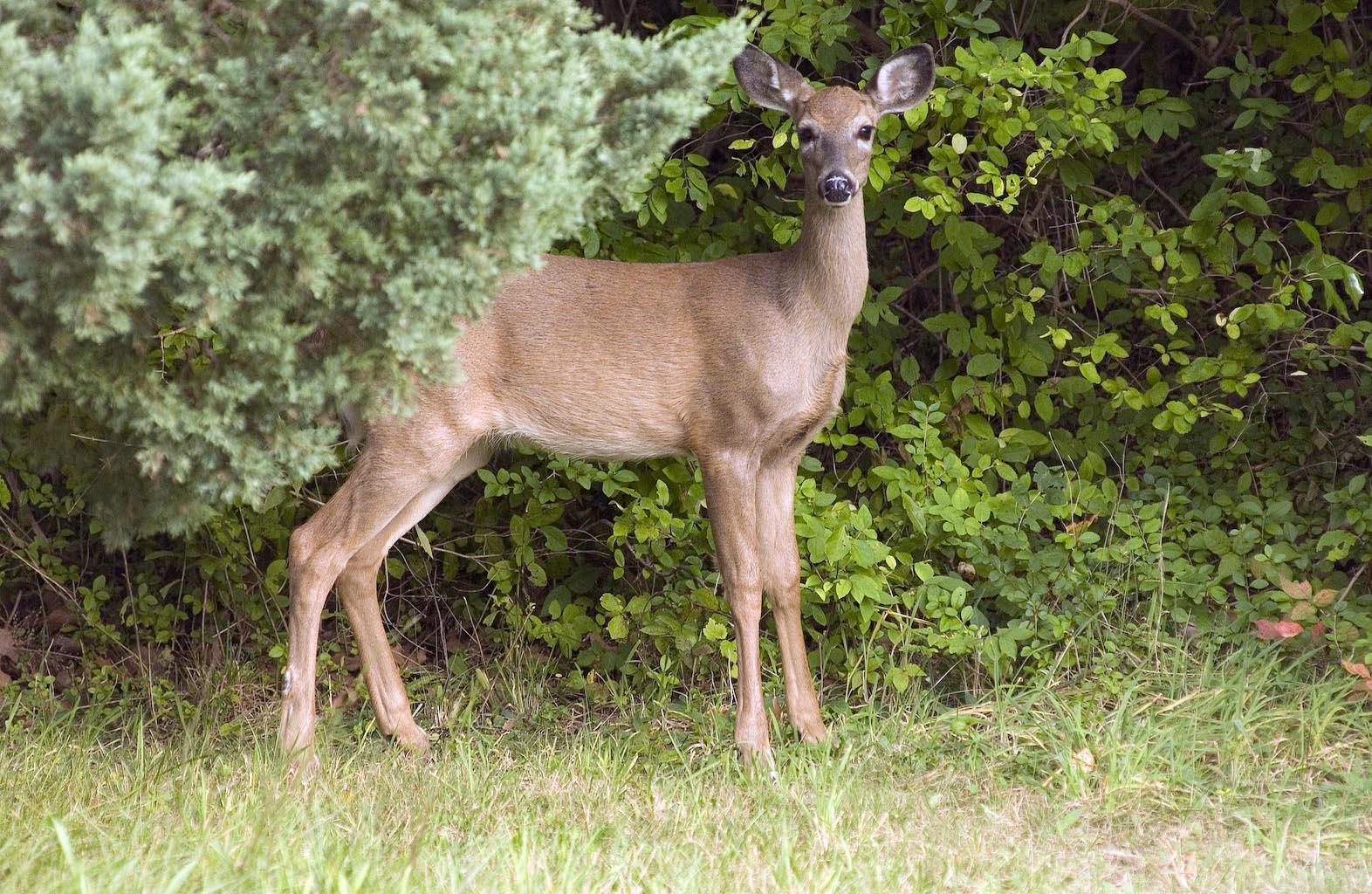 The Vineyard Gazette - Martha's Vineyard News | Deer Culling