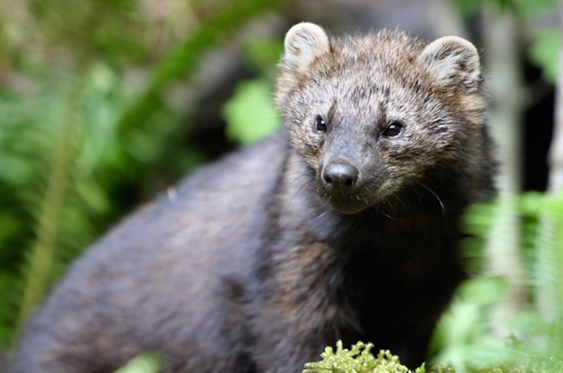 Fisher Cat Food