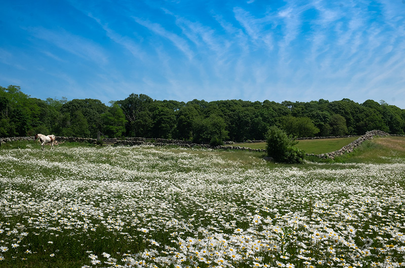 ml july daisies field horse.