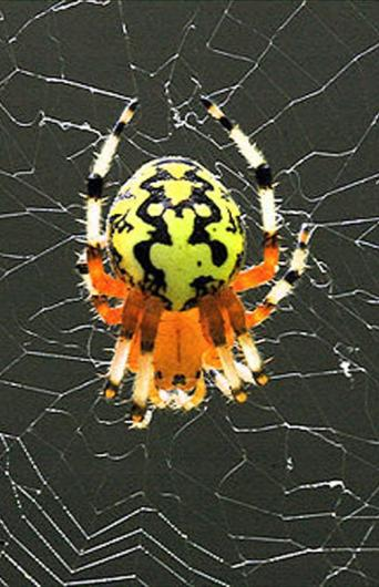 marbled orb spider