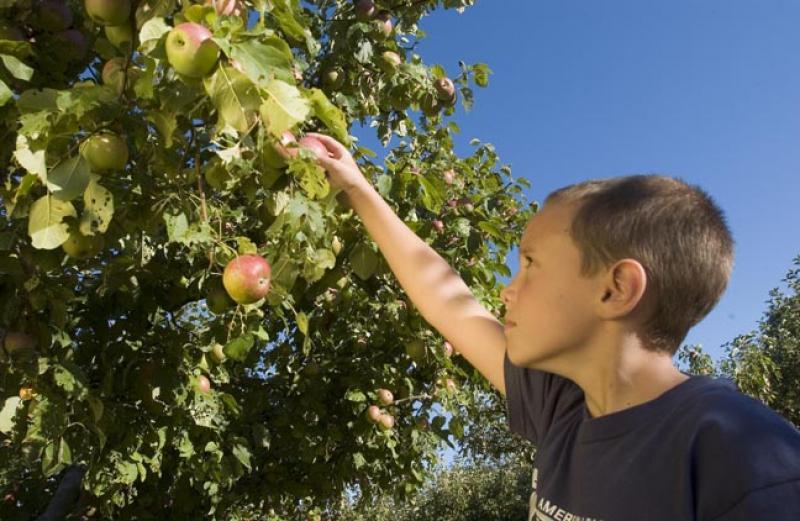 boy apple picking