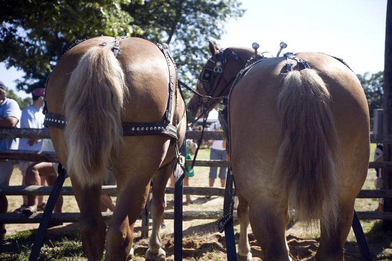 Horses at the Ag Fair