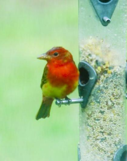 summer tanager bird