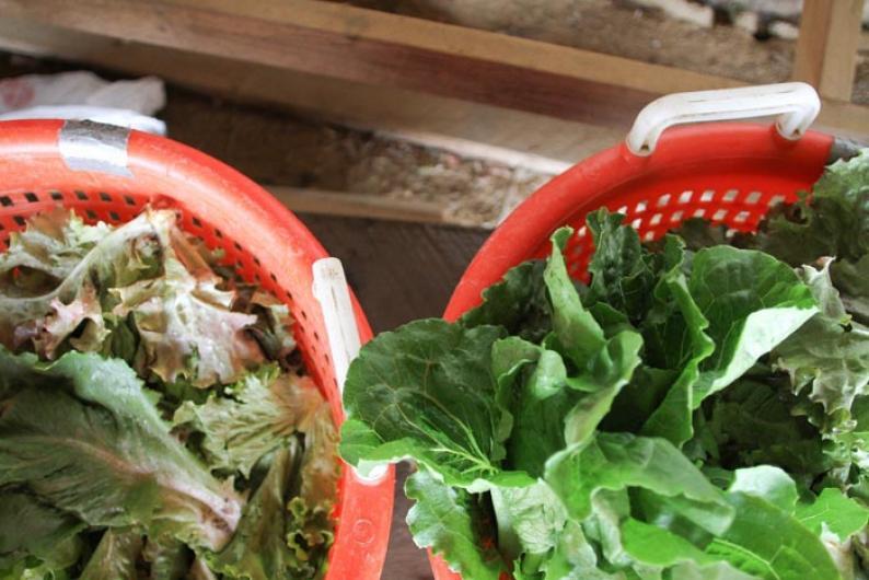baskets lettuce
