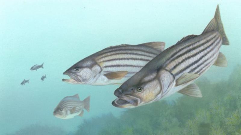 illustration striped bass