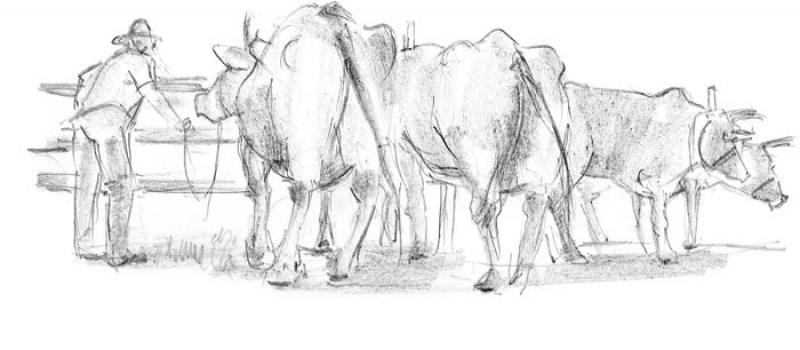 sketch of cattle
