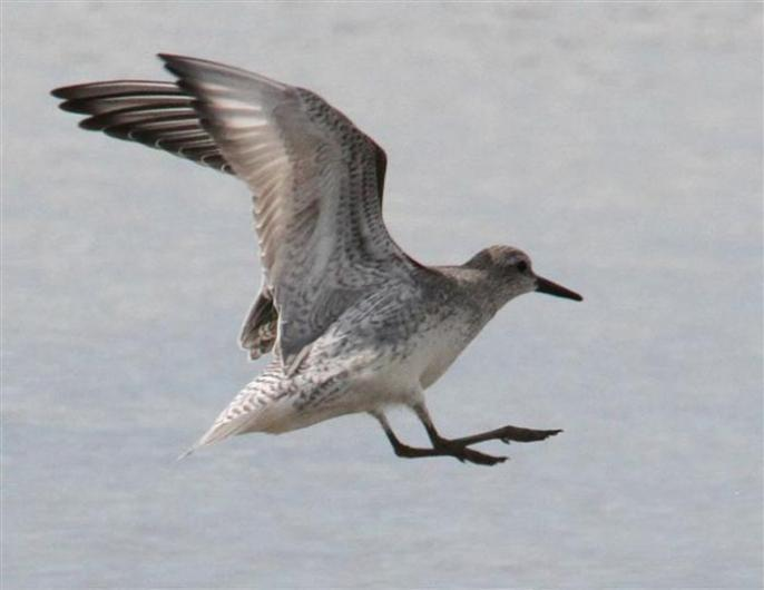 juvenile red knot flying bird