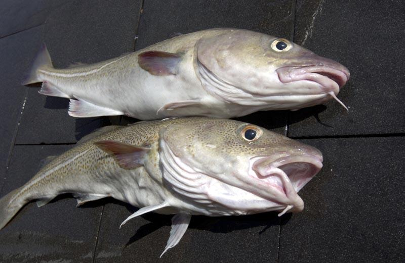 cod fish Camilla macphee, a longtime resident of souris, prince edward island, fondly remembers when staples like salt beef, salt cod, potatoes.