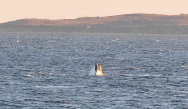 Right whale ocean