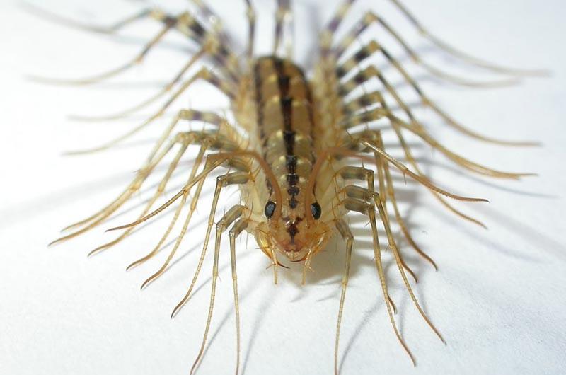 centipeded