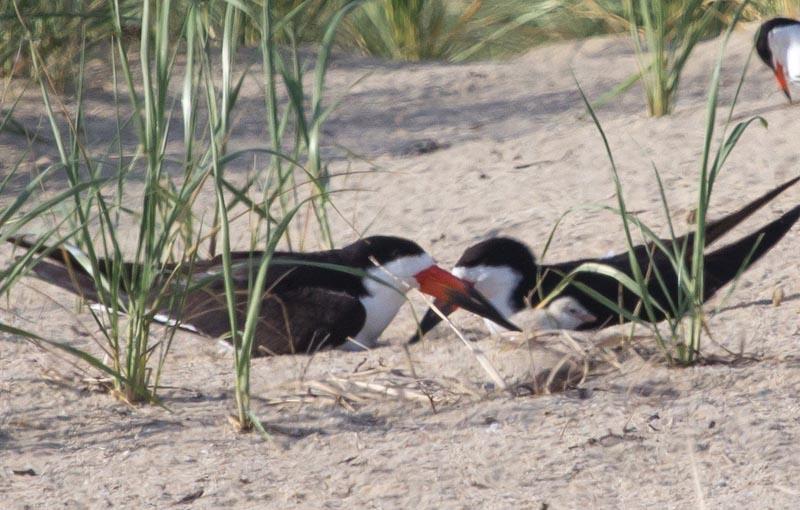 black skimmer chicks