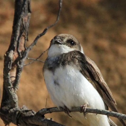 Bank swallow bird