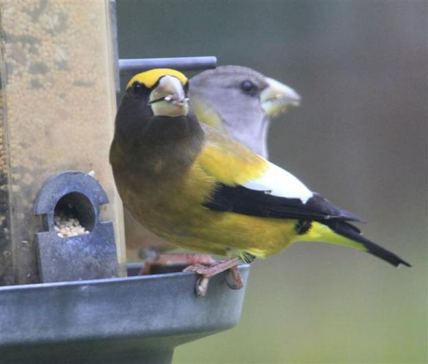 evening grosbeak