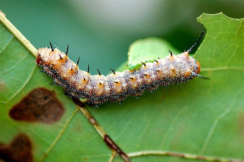 oakworm caterpillar