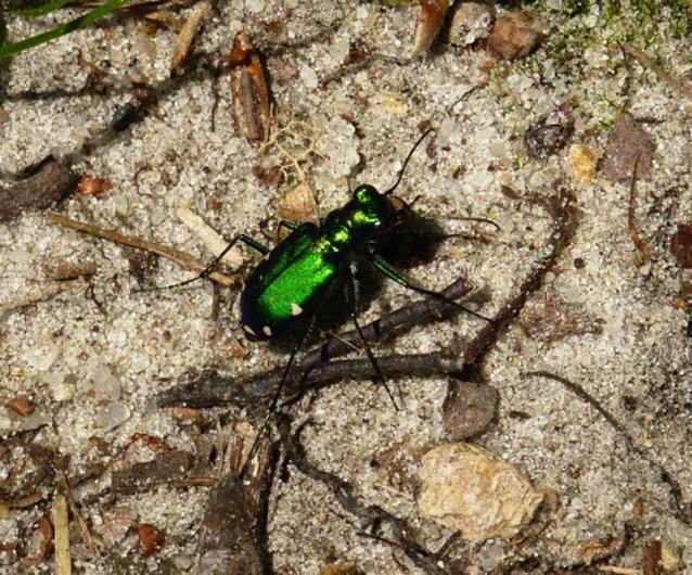 tiger Beetle sand