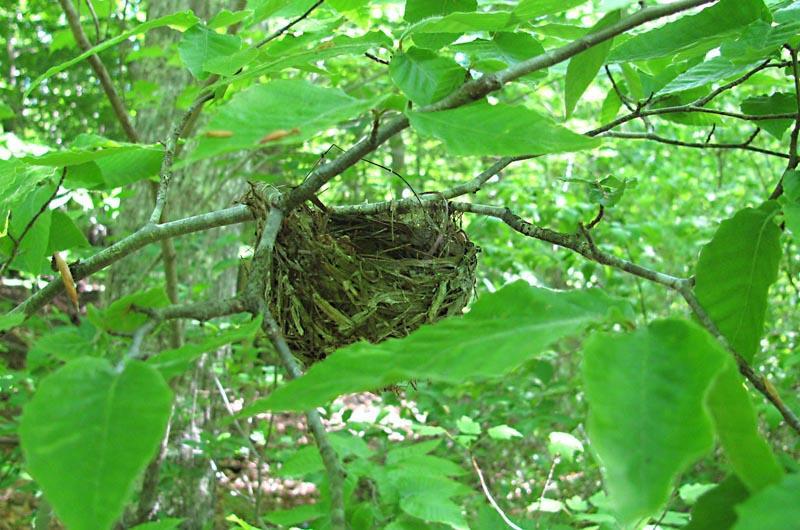 Red eyed vireo nest - photo#22