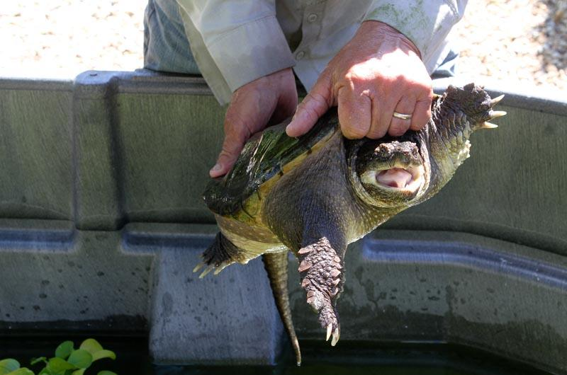Snapping turtles have retractable necks.