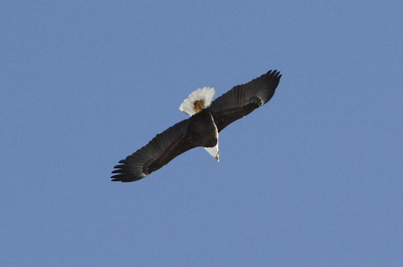 Four bald eagles were seen above oyster pond this weekend lanny