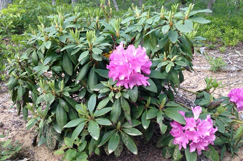The Vineyard Gazette Martha S Vineyard News Rhododendrons Rock