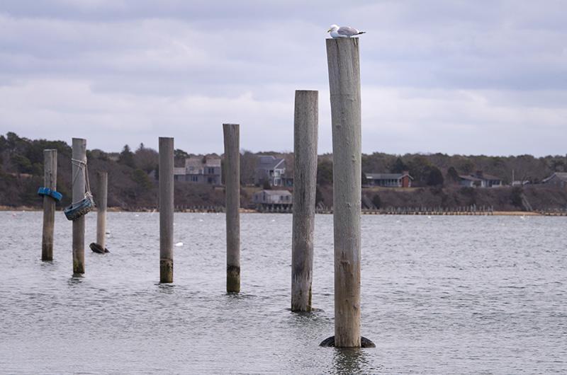 gull, Edgartown harbor, Martha's Vineyard