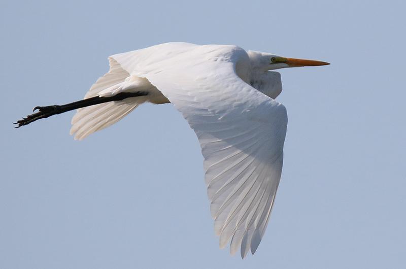 Great egret in flight, bird photo by Lanny McDowell