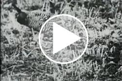 Heath Hen video