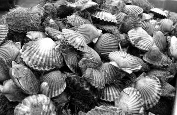 bay scallop bounty
