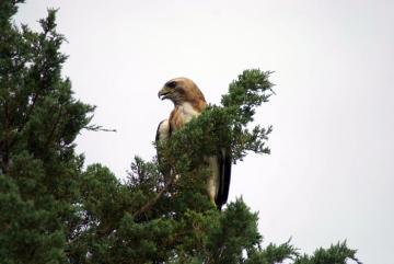 red tailed hawk bird