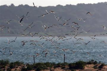 terns ocean flock