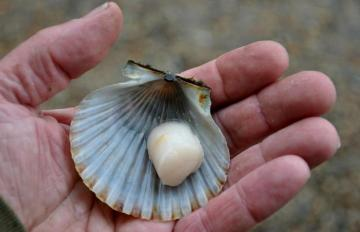 scallop shell hand