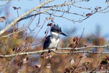 belted kingfisher bird