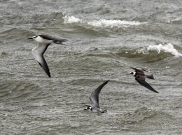 bridled tern black tern ocean