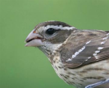 Female rose breasted bird