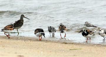 shorebirds sand ocean
