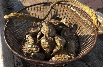 Oyster in a bushel
