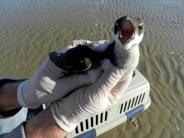 dovekie bird gloves