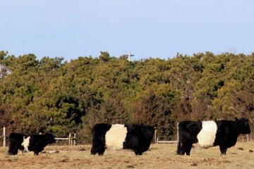 belted galloway cows field trees