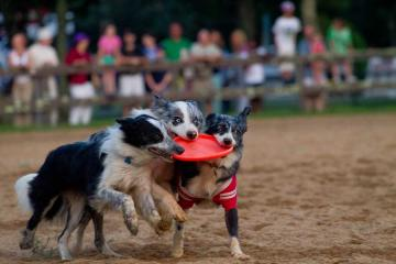 frisbee dogs