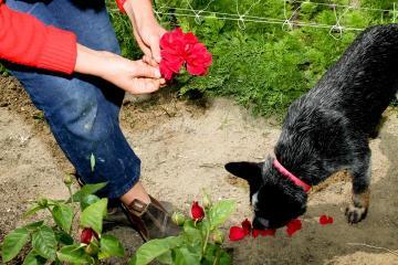 roses dog