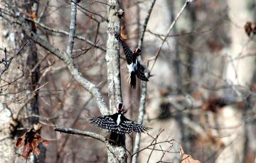 Dancing downy woodpeckers