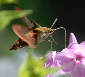 hummingbird clearwing sphinx