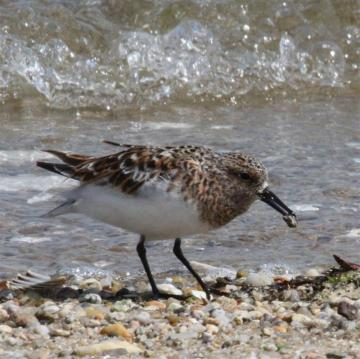 sanderling