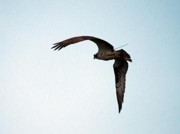 osprey Belle