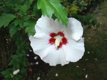 rose sharon