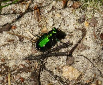 tiger Beetle sand