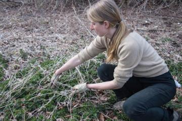stinging nettle harvesting